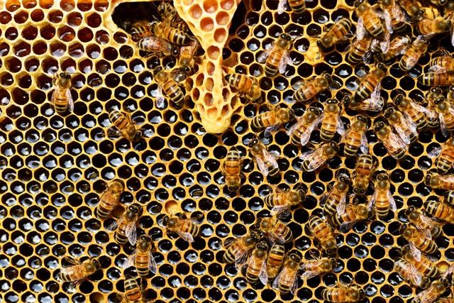 abeilles dans une ruche faisaint du miel