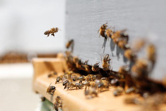 abeilles sortant ruche
