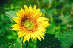 bienfaits tournesol