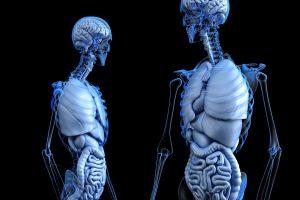 corps humain avec muscle et cerveau qui participe au métabolisme