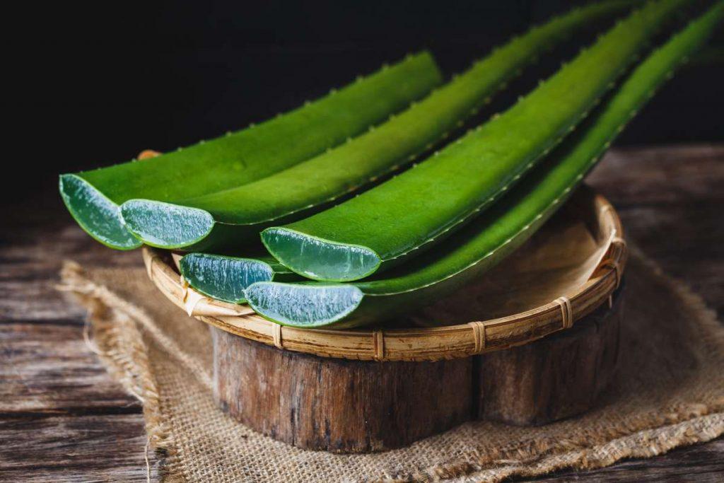 feuilles d'aloe vera