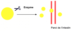 chirurgie bariatrique enzymes